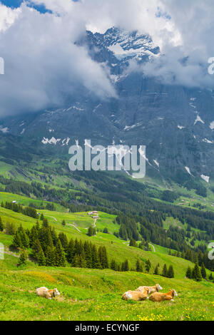 Grazing cow on a summer pasture with the background of swiss mountain cover with snow, Switzerland Interlaken - - Stock Photo