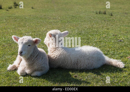 two newborn lambs resting on grass - Stock Photo