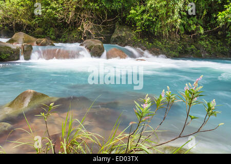 Pink flowers blooming on the banks of the cerulean blue Rio Celeste in Volcan Tenorio National Park in Costa Rica - Stock Photo