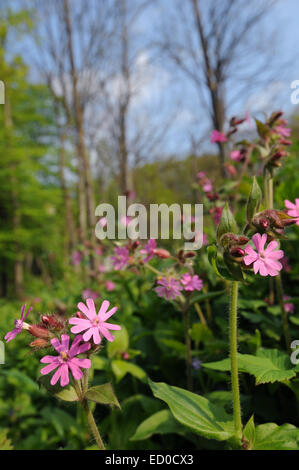 This is a bloom of red campion flowers. - Stock Photo