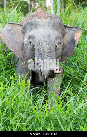 Malaysia Sabah state Kinabatangan river Borneo elephant or Borneo pygmy elephant (Elephas maximus borneensis) subspieces - Stock Photo
