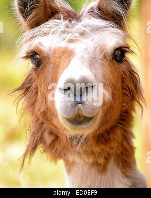 Portrait of llama - Stock Photo