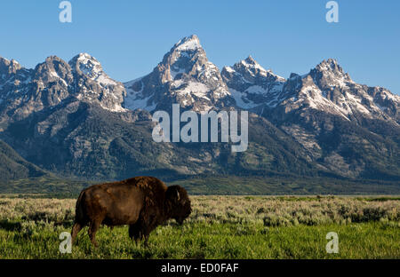 USA, Wyoming, Grand Teton National Park, American Bison - Stock Photo