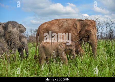 Sumatran elephant herd in Way Kambas National Park, Indonesia. - Stock Photo