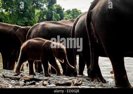 A sumatran elephant baby among adult individuals in Leuser National Park, Sumatra. © Reynold Sumayku - Stock Photo