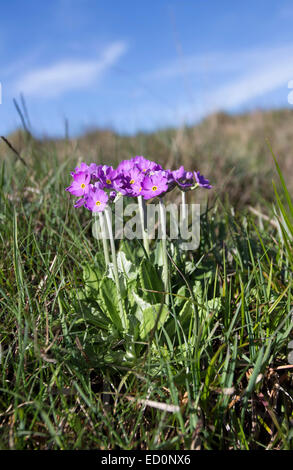 Bird's-Eye Primrose Primula farinosa Widdybank Fell Moor House National Nature Reserve Teesdale County Durham UK - Stock Photo