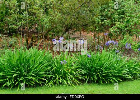 agapanthus birr castle garden gardens RM Floral - Stock Photo