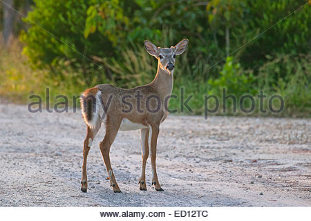 A key deer (Odocoileus virginianus clavium) pauses on a dirt road on No Name Key, one of the Florida Keys. - Stock Photo