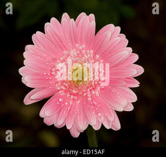 Spectacular vivid pink Gerbera flower with raindrops / dew on petals against a dark background - Stock Photo