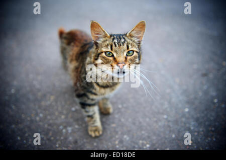 Horizontal shallow depth of field portrait of a cat standing on the concrete road and looking into the camera with - Stock Photo