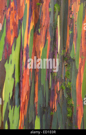 Colorful Eucalyptus Trees along the Hana Highway,Maui, Hawaii. - Stock Photo