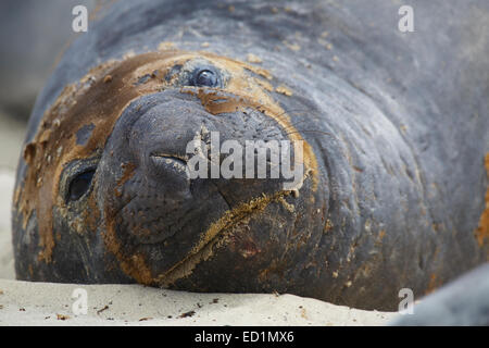 Southern Elephant Seals, Sea Lion Island, Falkland Islands. - Stock Photo