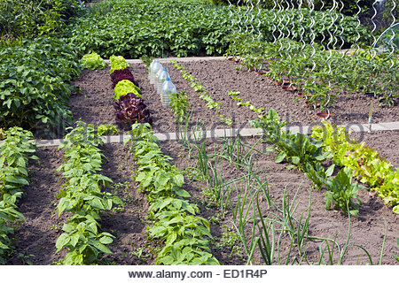Salad beds and other vegetables growing in kitchen garden / vegetable gardens / potager - Stock Photo