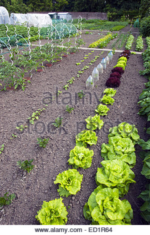 Rows of lettuce and tomato plants (Solanum lycopersicum) growing in kitchen garden / vegetable garden / potager - Stock Photo