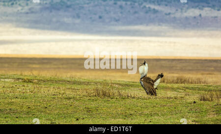 Male Kori bustard (Ardeotis kori) in mating display, Ngorongoro Crater, Tanzania - Stock Photo