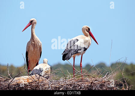 White storks with their young on the nest - Ciconia ciconia - Stock Photo