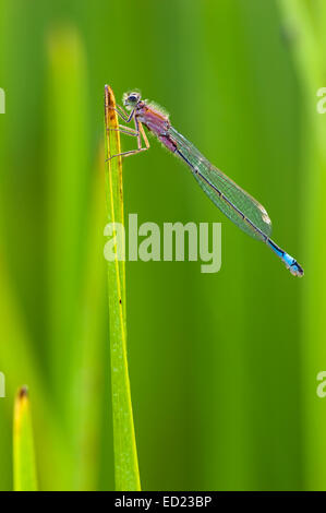 Blue-tailed Damselfly (Ischnura elegans) on blade of grass, close up. - Stock Photo