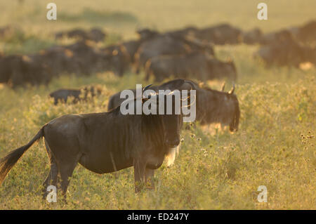 Backlit Blue Wildebeest (Connochaetes taurinus) in the dust during migration, looking at camera, Serengeti np, Tanzania - Stock Photo