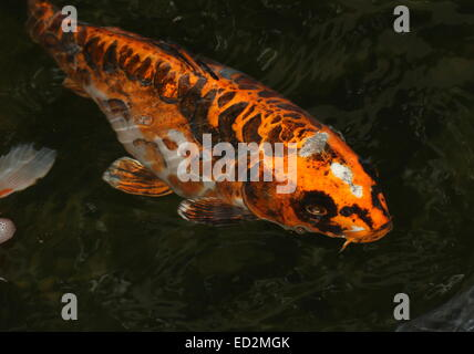 Orange, black and white Japanese Koi Carp coming up to the water's surface - Stock Photo