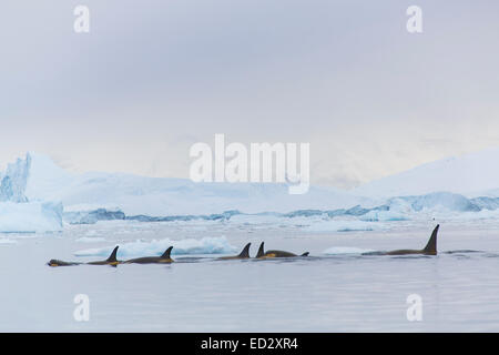 Killer whales, Neko Harbour, Antarctica. - Stock Photo