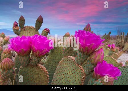 Beavertail Cactus in bloom, Anza-Borrego Desert State Park, California. - Stock Photo