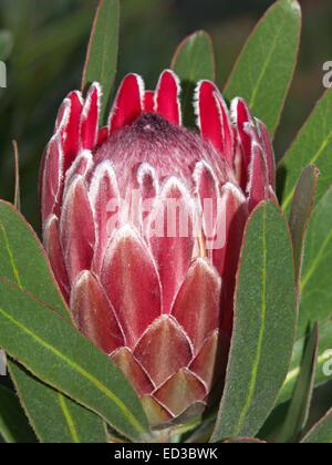 Large Pink Flower 52 Best Pink Plants Images On Pinterest In 2019