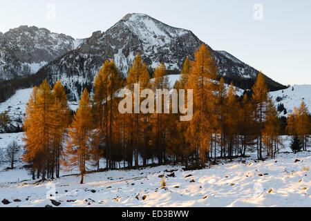 Yellow larches illuminated by the morning sun against snow-covered mountains - Stock Photo