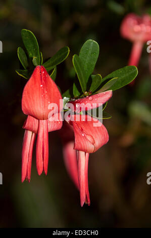 Unusual vivid red flowers & green leaves of Templetonia retusa, Cocky's Tongue, Australian wildflowers against a - Stock Photo