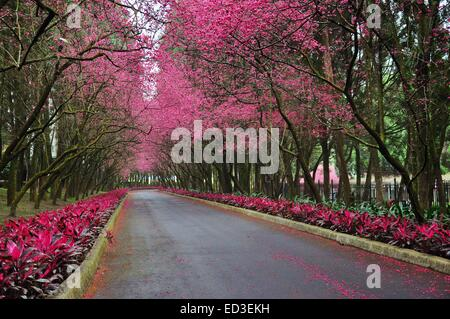 a street with flowering cherry trees stock photo royalty free image 55761651 alamy. Black Bedroom Furniture Sets. Home Design Ideas