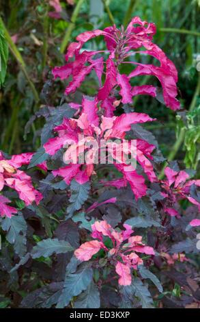 Amaranthus Tricolor - Joseph's Coat 'Molten Fire' - Stock Photo