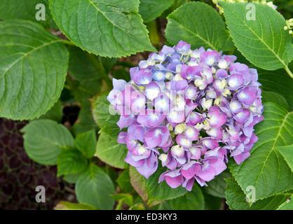 Mophead Hydrangea - Hydrangea macrophylla 'Enziandom' - Stock Photo