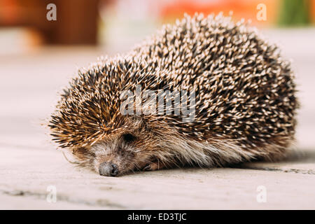 Small Tired Hedgehog Sleeping On Wooden Floor - Stock Photo