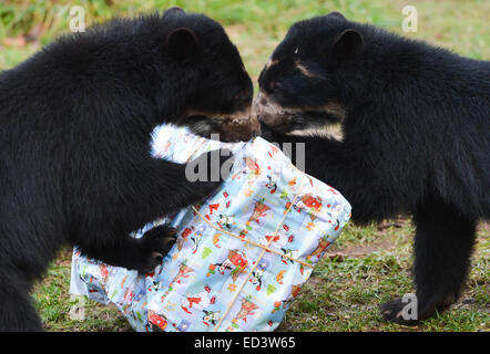 Andean bear twins Tupa and Sonco try to unwrap their present filled with apple pieces in the zoo in Frankfurt am - Stock Photo
