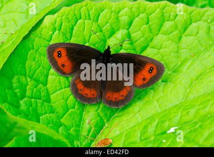 Sưu tập Bộ cánh vẩy 2 - Page 60 Scotch-argus-erebia-aethiops-basking-on-leaf-turkey-ed42fd