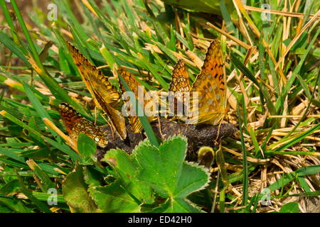 Dark Green fritillary butterflies, male, gathered on a dropping. Pontic Alps. Turkey - Stock Photo