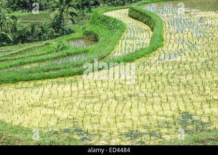 Batukau rice fields, Bali, Indonesia - Stock Photo