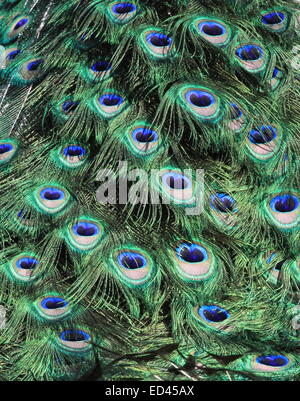 Brightly coloured feathers peacock's tail - Stock Photo