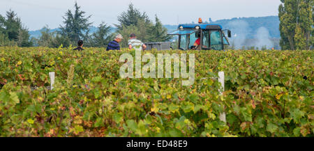 Francueil village, in central France. Grape picking day at the vineyard vines with tractor in view. - Stock Photo