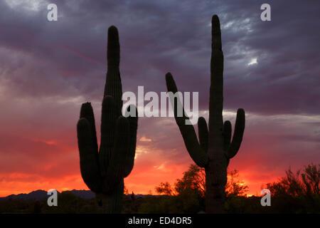 Saguaro cactus at sunset, Scottsdale, Arizona. - Stock Photo