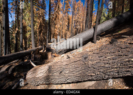 Wildfire damage in Yosemite National Park, California, USA. Most of California is in exceptional drought, the highest - Stock Photo