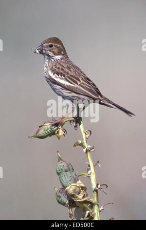 Lark Bunting - Calamospiza melanocorys - breeding female - Stock Photo