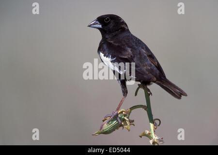 Lark Bunting - Calamospiza melanocorys - breeding male - Stock Photo