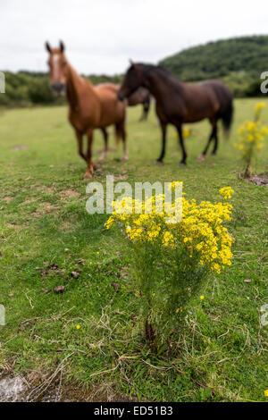 Horses with toxic flowering ragwort, Jacobaea vulgaris syn. Senecio jacobaea, Crymlyn Bog near Neath and Swansea, - Stock Photo