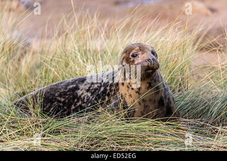 Grey seal, Halichoerus grypus, in marram grass dunes, Donna Nook national nature reserve, Lincolnshire, England, - Stock Photo