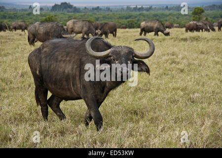 Cape buffaloes at Ol Pejeta Conservancy, Kenya - Stock Photo