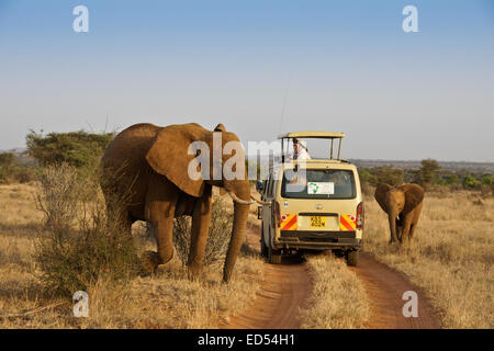 Elephants walking by safari vehicle, Samburu, Kenya - Stock Photo