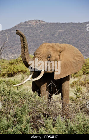 Elephant sniffing the air, Samburu, Kenya - Stock Photo