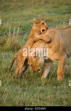 Lion cub jumping on its mother, Masai Mara, Kenya - Stock Photo