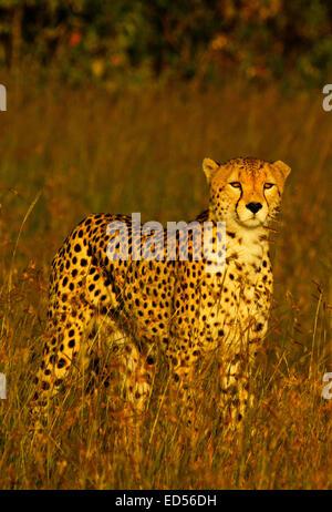 Cheetah (Acinonyx jubatus)  in Masai Mara National Reserve. - Stock Photo