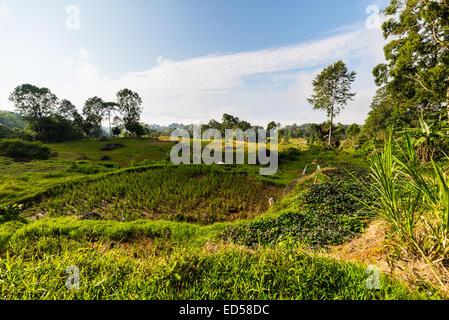 Stunning landscape of rice fields on the mountains of Batutumonga, Tana Toraja, South Sulawesi, Indonesia. Panoramic - Stock Photo